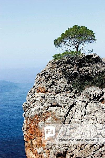 Baum auf einer Klippe mit Blick auf Meer  Sa Calobra  Mallorca  Spanien