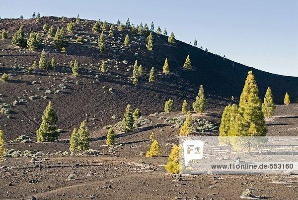 Bäume bei parallelen Landschaft  El Teide Nationalpark  Teneriffa  Kanaren  Spanien