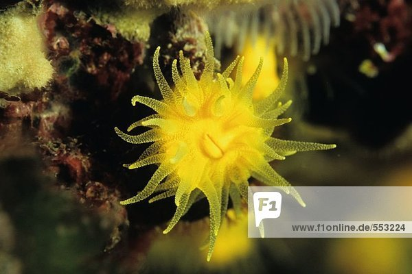Nahaufnahme von Sonnenuntergang Cup Korallen (Leptopsammia Pruvoti) Unterwasser  Kroatien