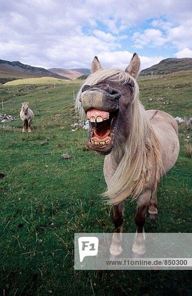 Rum Pony. Insel Rum. Schottland