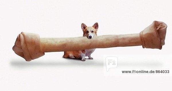 kleiner hund mit sehr großen knochen g42614274  age