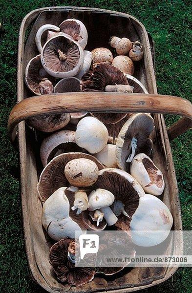 Feld Pilze (Agaricus Campestris)