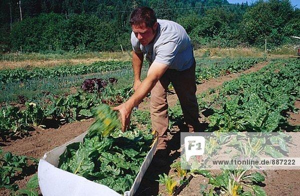 Organische Landwirtschaft  Mann Ernte Mangold