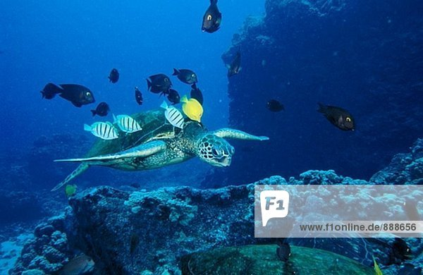 Tropical reef fish (Acanthurids) feed on the algae growing in the Green sea turtle´s (Chelonia mydas) back. Hawaii