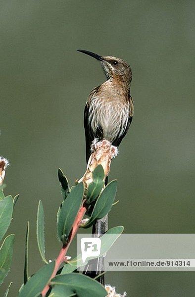 Kaphonigfresser (Promerops Cafer). Südafrika