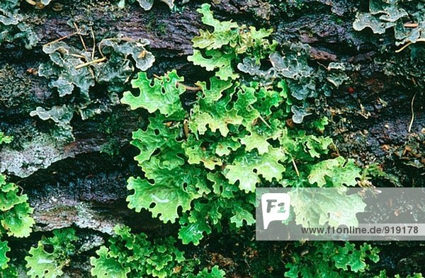 Lungwort (Lobaria pulmonaria) on a dead tree trunk
