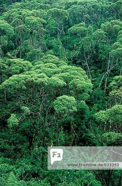 Lechoso Wald (Scalesia Pedunculata). Santa Cruz. Galápagos-Inseln. Ecuador