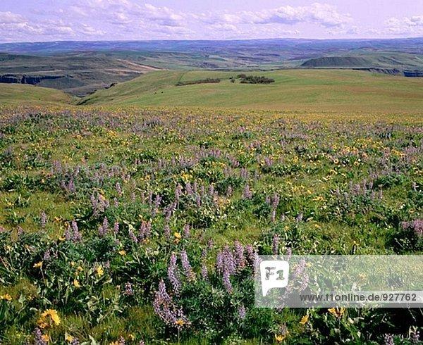 Lupine und Balsamroot blühen im Columbia Hills (morgen Mai). Columbia River Gorge NSA. Washington. USA