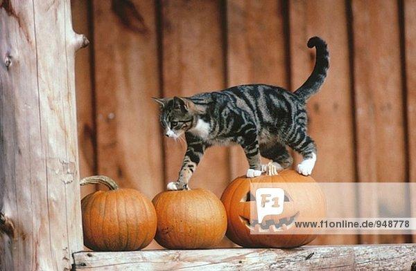 Katze auf Halloween pumpkins