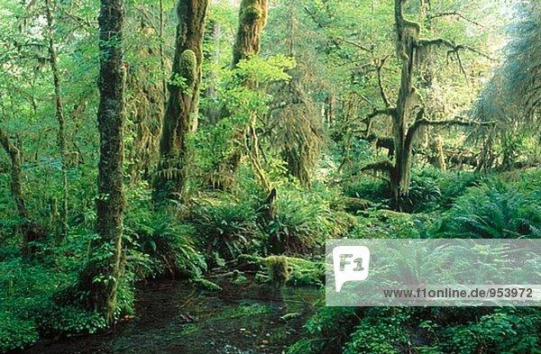 Stream running through the Hoh Rain Forest. Spruce Trail. Olympic National Park. Washington. USA