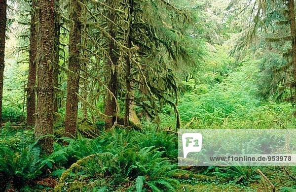 Sitka spruce trees. Spruce nature trail. Hoh Rain Forest. Olympic National Park. Washington. USA