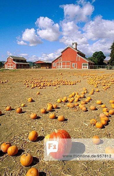 Pumpkin Patch auf der Farm Faulkner. Santa Paula. Kalifornien. USA