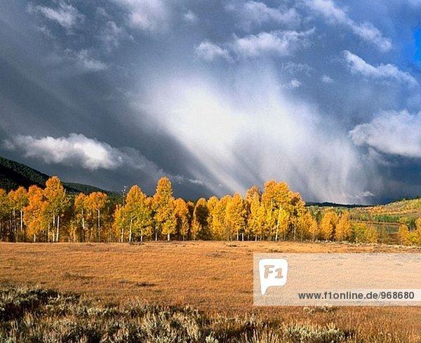 Autumn aspen trees in Oxbow Bend. Grand Teton National Park. Wyoming  USA