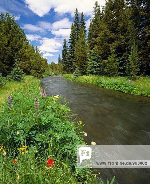Lupine (Lupinus) und Paintbrush (Castilleja Miniata) am oberen Deschutes River. Deschutes National Forest. Oregon. USA