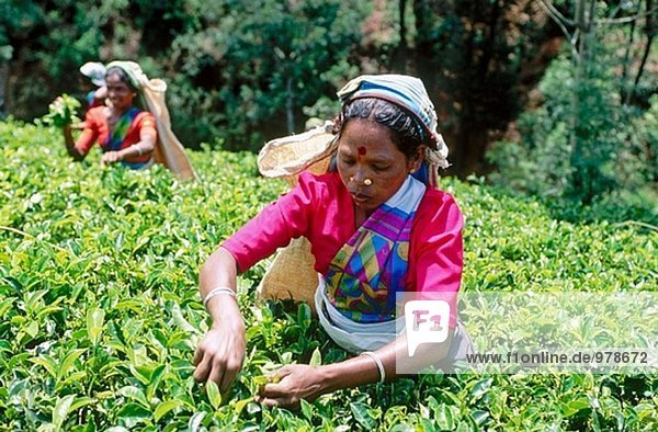 Tee Ernte. Nuwara Eliya. Sri Lanka