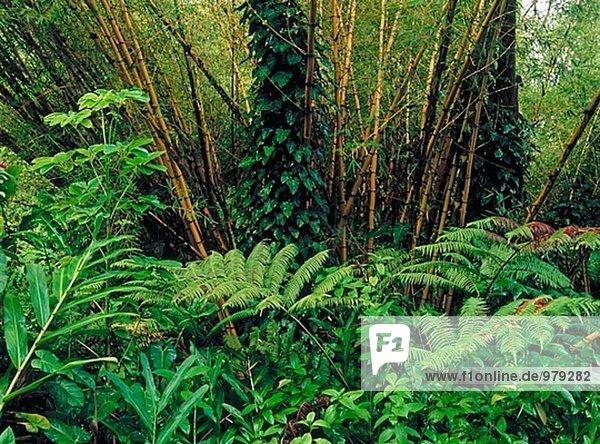 Bamboo forest  Akaka Falls State Park. Big Island  Hawaii. USA