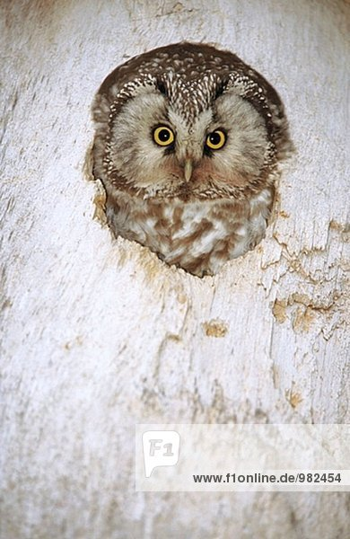 Ein Tengmalm´s Owl (Aegolius Funereus) blickt aus das entsprechende verschachteln. Byske  Vasterbotten. Schweden.