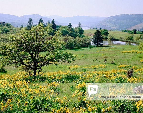 Balsamroot (Balsamorhiza Sagittata) Arrowleaf über Columbia River. Mosier. Wasco County. Oregon  USA