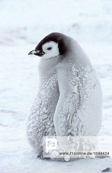 Kaiserpinguin (Aptenodytes Forsteri). Dawson-Lambton Gletscher  Antarktis Kaiserpinguin (Aptenodytes Forsteri). Dawson-Lambton Gletscher, Antarktis