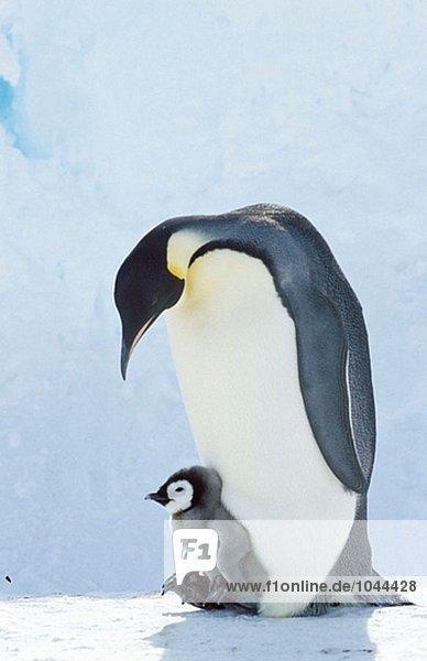 Kaiserpinguin (Aptenodytes Forsteri)  Erwachsenen und Chick. Dawson-Lambton Gletscher  Antarktis Kaiserpinguin (Aptenodytes Forsteri), Erwachsenen und Chick. Dawson-Lambton Gletscher, Antarktis