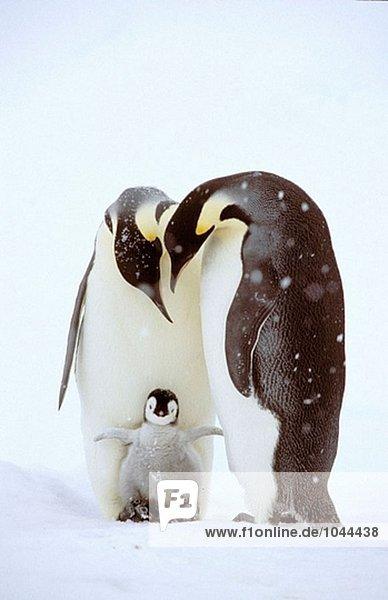 Kaiserpinguine (Aptenodytes Forsteri)  Erwachsene und Chick. Dawson-Lambton Gletscher  Antarktis Kaiserpinguine (Aptenodytes Forsteri), Erwachsene und Chick. Dawson-Lambton Gletscher, Antarktis