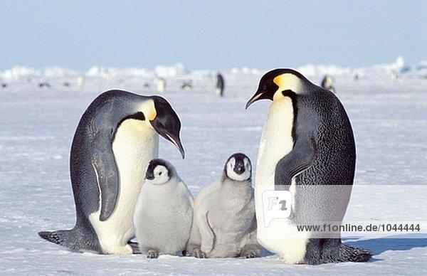 Kaiserpinguine (Aptenodytes Forsteri)  Erwachsene und Küken. Dawson-Lambton Gletscher  Antarktis Kaiserpinguine (Aptenodytes Forsteri), Erwachsene und Küken. Dawson-Lambton Gletscher, Antarktis