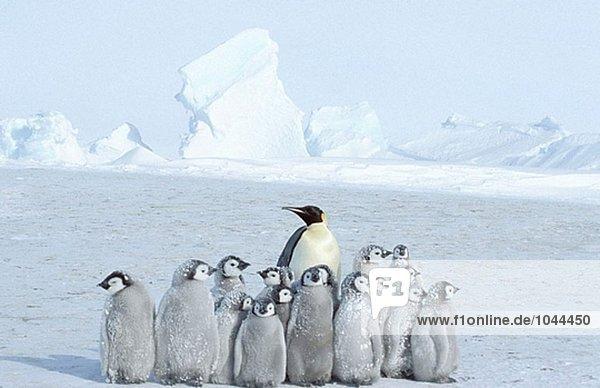Kaiserpinguine (Aptenodytes Forsteri). Dawson-Lambton Gletscher  Antarktis Kaiserpinguine (Aptenodytes Forsteri). Dawson-Lambton Gletscher, Antarktis
