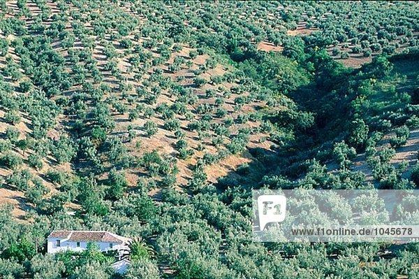 Ölbäume. Provinz Jaén. Spanien