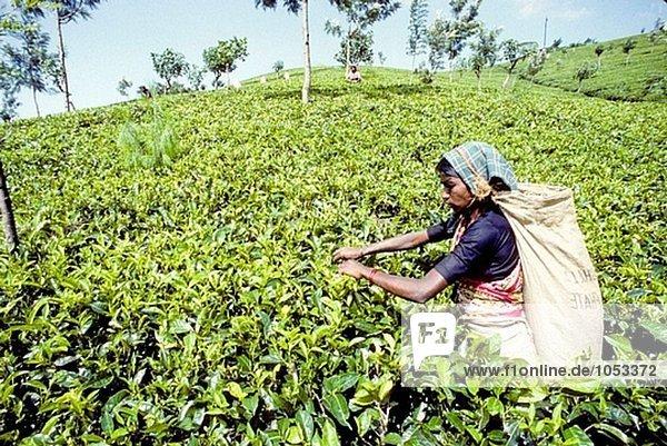 Frauen arbeiten bei Tee Ernte in großer Höhe Plantage. Nuwara Eliya Stadt Region  Sri Lanka