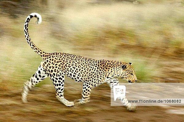 Leopard (Panthera Pardus) Leopard (Panthera Pardus)