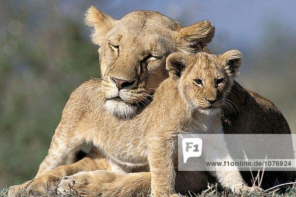 Löwin (Panthera Leo) mit Cub. Masai Mara. Kenia Löwin (Panthera Leo) mit Cub. Masai Mara. Kenia
