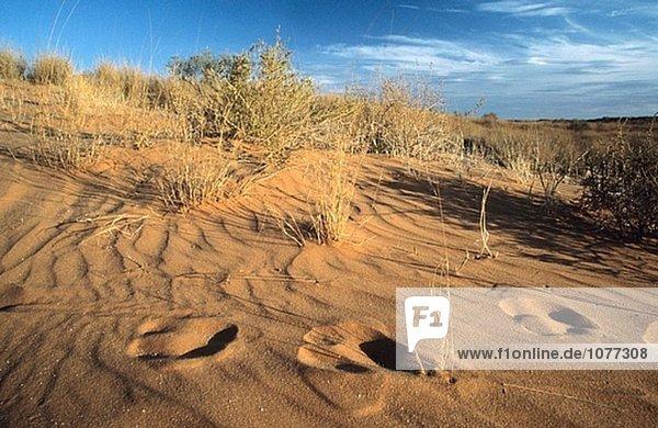 Kgalagadi Transfrontier Park  Gemsbok spoor in dunes  Kalahari  Northern Cape  South Africa