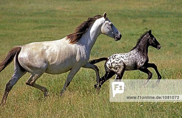 Appaloosa horses. Mare and foal