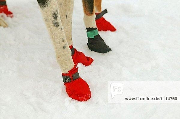 schlittenhunde schuhe