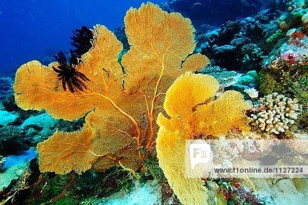 Coral (Subergorgia SP.) Lüfter mit schwarzen Federsterne angefügt. Namu Atoll  Marshallinseln (Pazifik)