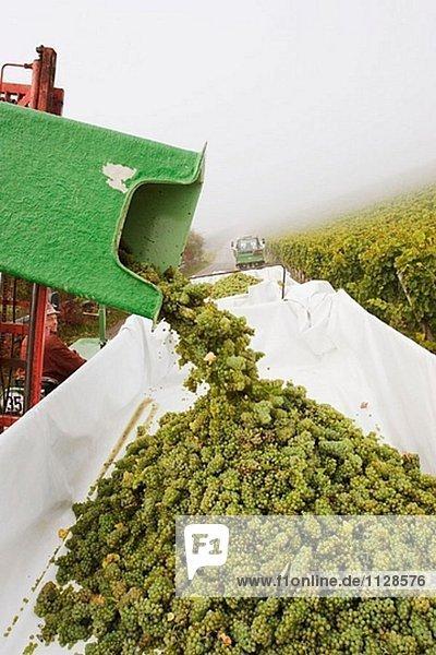 Grape harvest at vineyard. Frickenhausen. Franconia. Bavaria. Germany Grape harvest at vineyard. Frickenhausen. Franconia. Bavaria. Germany