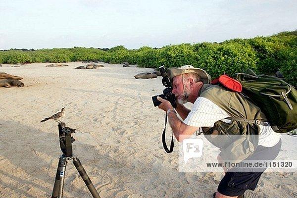 Hood-Spottdrossel (Mimus Macdonaldi). Española (Haube) Insel  Galapagos-Inseln. Ecuador