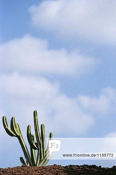 Feld Cactus Guatiza  Lanzarote. Kanarischen Inseln. Spanien