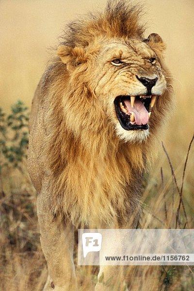 Lion riechen für den Duft von einer Löwin. Kenia
