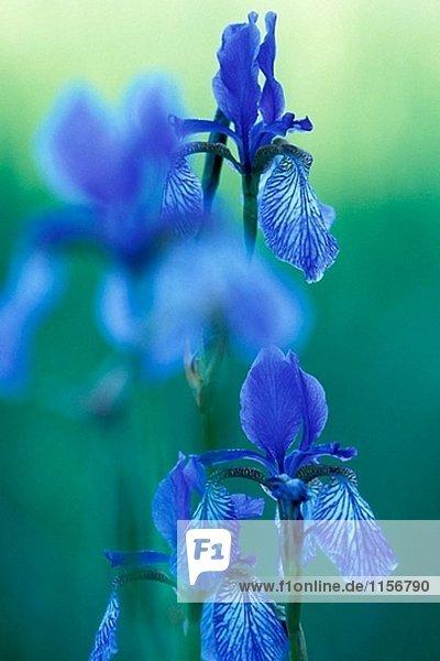 Gruppe der Sibirische Iris  eine Lilie  auf feuchten Wiesen am Bodensee. Deutschland Gruppe der Sibirische Iris, eine Lilie, auf feuchten Wiesen am Bodensee. Deutschland