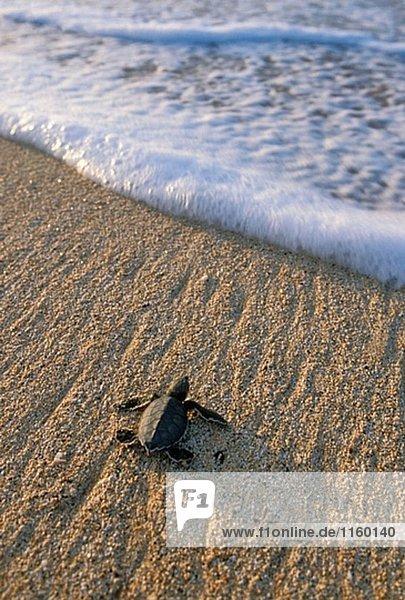 Wasserschildkröte Schildkröte reinkommen grün Meer Zeit Atlantischer Ozean Atlantik Baby Wasserschildkröte,Schildkröte,reinkommen,grün,Meer,Zeit,Atlantischer Ozean,Atlantik,Baby