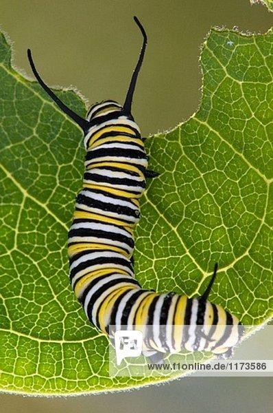 Monarchfalter (Danaus Plexippus) Raupe Fütterung auf Milkweed Blatt ...