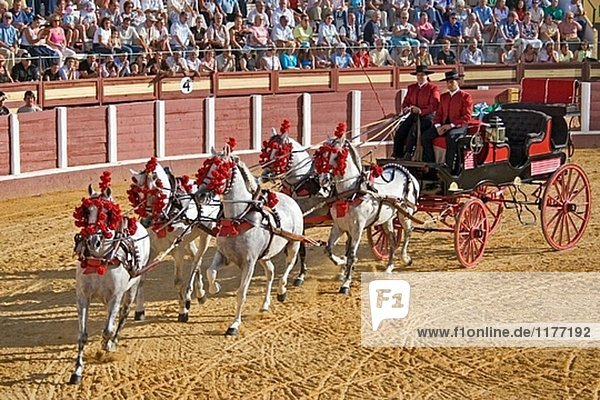 Nationalen Wettbewerb des Pferdes hitch in Fuengirola fair. Málaga Provinz  Costa del Sol  Andalusien  Spanien