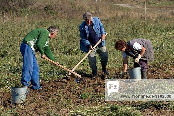 Ernte Kartoffeln im Rhodopen-Gebirge. Bulgarien