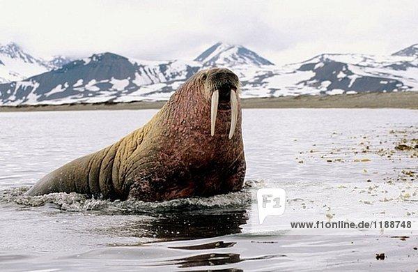 Atlantic Walrus im Meer (Odobenus Rosmarus)  Prinz Karl Forland Insel  Svalbard  Spitzbergen  Norwegen