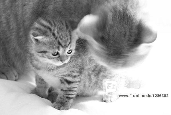 Nahaufnahme der Katze mit seiner Kätzchen auf Decke Nahaufnahme der Katze mit seiner Kätzchen auf Decke