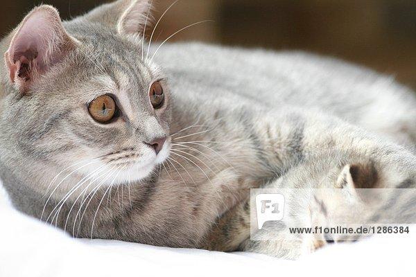 Nahaufnahme Katze liegend mit Kitten auf Decke