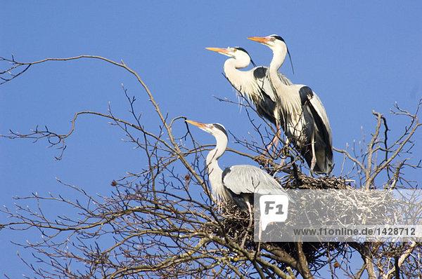 Grey herons in nest