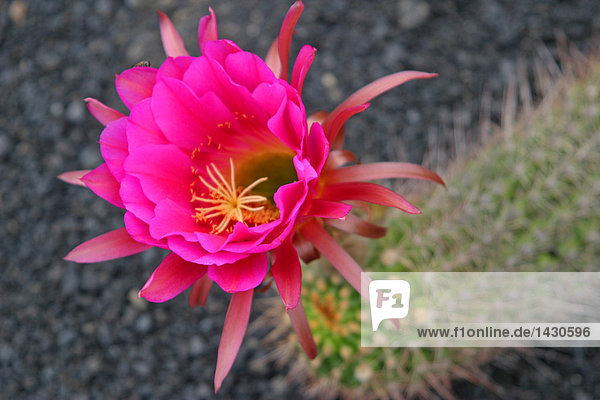 Nahaufnahme der Kaktusblüte in voller Blüte  Lanzarote  Spanien