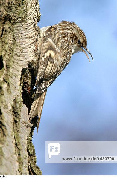 Nahaufnahme der Vogel auf Baumstamm hocken